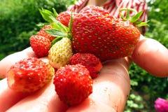 Verse Geplukte Aardbeien Stock Foto