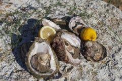 Verse geplukte oesters en organische citroen en mediterrane kruiden royalty-vrije stock fotografie