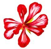 Verse geranium gestreepte bloemen, fotomanipulatie Stock Afbeeldingen
