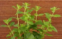 Verse gezonde citroenbalsem, houten achtergrond, herbalism royalty-vrije stock afbeelding