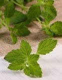 Verse gezonde citroenbalsem op witte houten lijst, herbalism stock fotografie