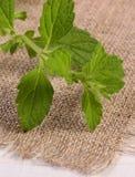 Verse gezonde citroenbalsem op witte houten lijst, herbalism stock foto's