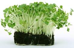 Verse gezonde groene tuinkers Stock Foto's