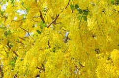 Verse Gouden Douchebloem dat in zomer in Thailand bloeit stock foto