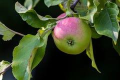 Verse groene appel met een het blozen kant stock fotografie