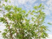 Verse groene Bamboebladeren, tegen blauwe hemel Royalty-vrije Stock Fotografie