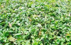Verse groene bladachtergrond Stock Foto