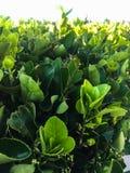 Verse groene bladeren royalty-vrije stock fotografie