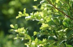 Verse groene bladeren Stock Afbeeldingen