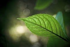 Verse groene bladeren Royalty-vrije Stock Afbeelding