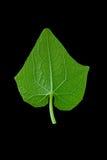 Verse groene bladeren Geïsoleerde op zwarte achtergrond Royalty-vrije Stock Foto's