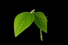 Verse groene bladeren Geïsoleerde op zwarte achtergrond Stock Foto's