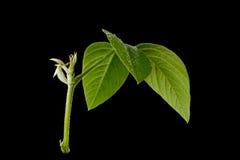 Verse groene bladeren Geïsoleerde op zwarte achtergrond Royalty-vrije Stock Foto