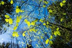 Verse groene bladeren met diepe blauwe hemelachtergrond in bos Royalty-vrije Stock Fotografie