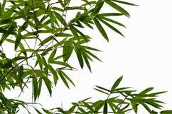 Verse groene bladeren met takken van bamboeboom Stock Afbeeldingen