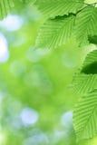 Verse groene bladeren met vlotte bokeh Royalty-vrije Stock Afbeelding