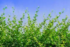 Verse groene bladeren op boom en blauwe hemel Stock Afbeelding