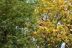 Verse groene bladeren op boom en gele bladeren op een andere boom Royalty-vrije Stock Foto's