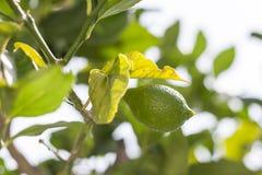 Verse groene bladeren op tak met citroenclose-up Royalty-vrije Stock Foto