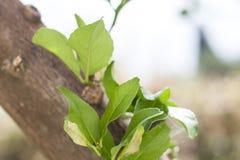Verse groene bladeren op takclose-up Stock Fotografie