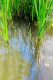 Verse groene bladeren van aquatisch Zeggeonkruid royalty-vrije stock afbeelding