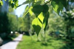 Verse groene bladeren van bomen op duidelijke blauwe hemel Stock Afbeeldingen