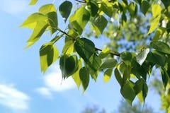 Verse groene bladeren van bomen op duidelijke blauwe hemel Royalty-vrije Stock Fotografie