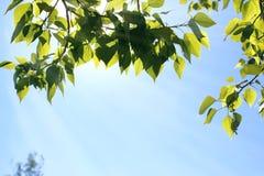 Verse groene bladeren van bomen op duidelijke blauwe hemel Royalty-vrije Stock Foto's