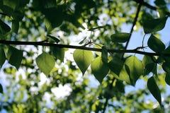 Verse groene bladeren van bomen op duidelijke blauwe hemel Stock Afbeelding