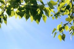 Verse groene bladeren van bomen op duidelijke blauwe hemel Royalty-vrije Stock Foto