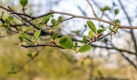 Verse groene bladeren van een zwarte elsboom van het sluiten stock foto