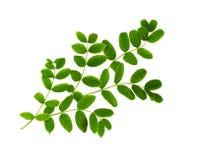 Verse groene bladeren van Siberische peashrub Stock Afbeelding