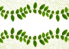 Verse groene bladeren van Siberische peashrub in gegolfte regeling Royalty-vrije Stock Afbeelding