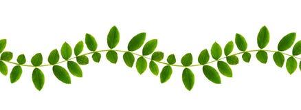 Verse groene bladeren van Siberische peashrub in naadloos gegolft geklets Royalty-vrije Stock Afbeelding