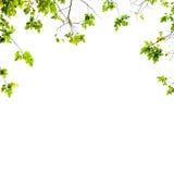 Verse Groene bladerenachtergrond royalty-vrije stock afbeeldingen