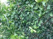 Verse groene citroenen van citroenboom in tuin stock fotografie