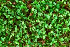 Verse groene cuckooflower duidelijke achtergrond Stock Foto's