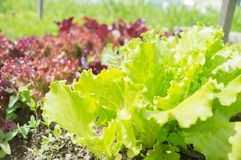 Verse groene de bladerenclose-up van de slasalade Royalty-vrije Stock Foto's
