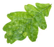 Verse groene eiken blad dichte omhooggaand geïsoleerd op wit Royalty-vrije Stock Afbeelding