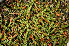 Verse groene en Spaanse peper royalty-vrije stock foto