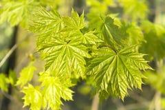 Verse groene esdoornbladeren Royalty-vrije Stock Afbeelding