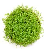 Verse groene geïsoleerdel witte waterkers Stock Foto's