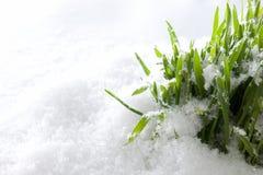 Verse groene gras het groeien vormsneeuw De lentebegin royalty-vrije stock foto's