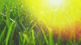 Verse groene grastextuur natuurlijke als achtergrond, gazon voor de achtergrond Glans van zonlicht stock video