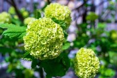 Verse groene Guelder Rose Viburnum Opulus corymbs/bloemen alvorens te draaien volledig wit, onder direct zonlicht, in een binnenp stock foto