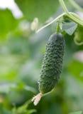Verse komkommer op de struik Royalty-vrije Stock Fotografie