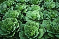 Verse groene kool in landbouwbedrijf Royalty-vrije Stock Fotografie