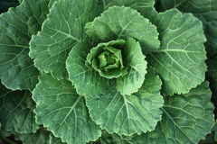 Verse groene kool in landbouwbedrijf Royalty-vrije Stock Afbeeldingen