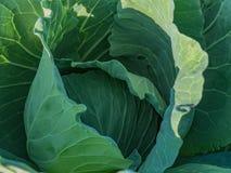 Verse groene kooltuin in de middag stock foto