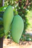 Mango Royalty-vrije Stock Afbeelding